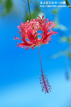 Hibiscusfuurin